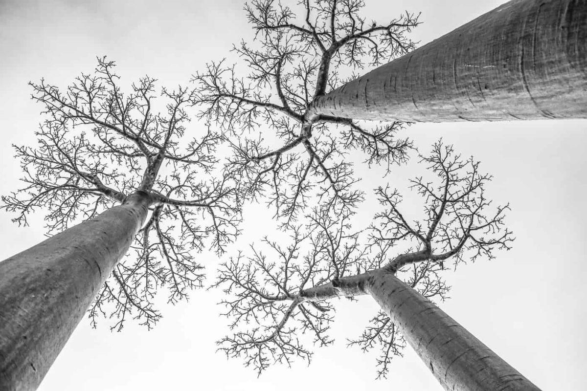Baobabs endémiques de Madagascar, Adansonia-Grandidieri. Unique au monde